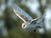 The Barn Owl Close-up