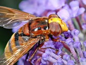 Volucella zonaria hoverfly