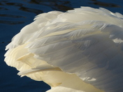 TEXTURES. Swan Feather