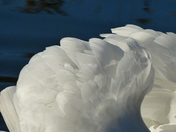 TEXTURES. Swan Feathers