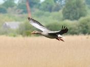 greylag geese over strumpshaw fen