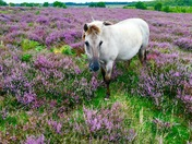 Horse in heather