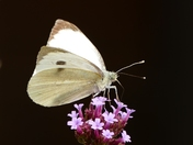 Large White butterfly.