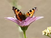 Tortoiseshell butterfly.