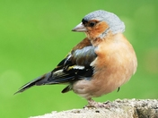Male Chaffinch in beautiful plumage.