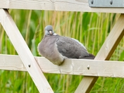 woodpigeon cley marsh