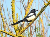 magpie cley marsh