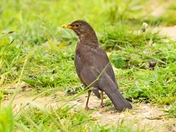 blackbird cley marsh