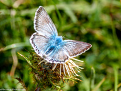 Male Chalk-hill Blue Butterfly