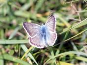 Male Chalk-hill Blue Butterfly
