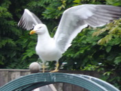 THE HERRING GULL