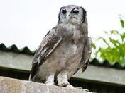Such A Pretty Owl