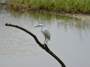 An Egret
