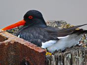 Nesting Oyster Catcher