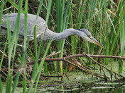 Heron in the reeds