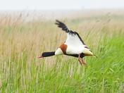 shelduck cley marsh