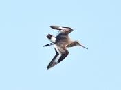 blacktailed godwit cley marsh