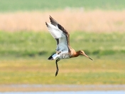 blacktailed godwit cley marsh
