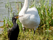 The Swan and Cormorant