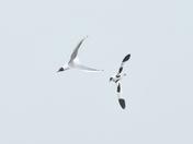 avocet and blackheaded gull cley marsh