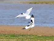 avocet and blackheaded gull cley marsh