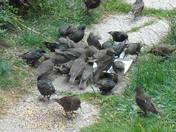 A DAY OUTING FOR STARLINGS