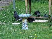 JACKDAWS AND MAGPIES IN OUR GARDEN