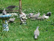 COLLARED DOVES IN OUR GARDEN