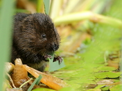 Water Vole at Stumpshaw Fen