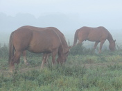 Suffolk Punch Horses