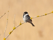 male reed bunting cley marsh
