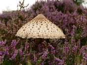 Wild mushroom amongst the heather