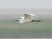 egret cley marsh