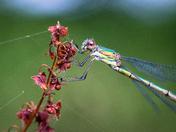 Willow Emeralds