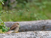 Kestrel perched on a log