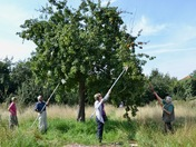 Councillor helps harvest fruit from 100-year-old orchard at the Dick Turpin