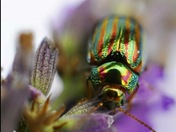 Nature- Rosemary Beetle