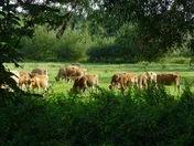 Jersey cattle.