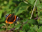 The red admiral.