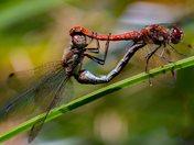 Mating Darters