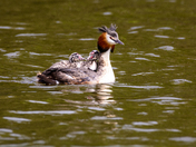 Great Crested Family, Nature