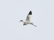 avocet cley marsh