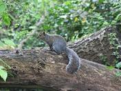 Camouflage Squirrel