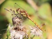Restful  Dragonfly