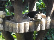 STARLINGS  & SOME OTHER BIRDS - THE VIDEO