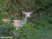 Fallow deer on my walk