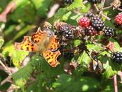Comma butterfly on my blackberries