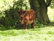 Calf at Worthing
