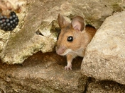 Field mouse.