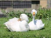 Happy scruffy Duck at Norfolk Lavender!
